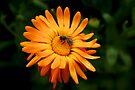 Ringlet Flower by Jens Helmstedt