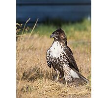 Red-tailed Hawk: One Big Meal Photographic Print