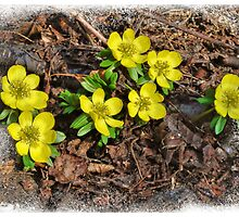 Winter Aconite by © Kira Bodensted