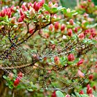 Tetragnathidae Web in Azalea - Cape Cod MA by MotherNature
