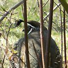 quail in the bush by VixenFirepaw