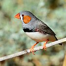 Zebra Finch (Male) taken at the Living Desert Park near Broken Hill by Alwyn Simple