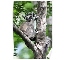 Wild Baby Ringtailed Lemur Poster