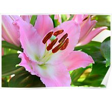Pink lilly pollen Poster