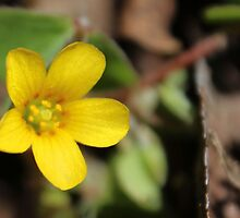 Yellow Woodsorrel by aprilann