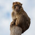 Lonely macaque by Balint Takacs