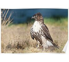 Red-tailed Hawk: A Successful Hunt Poster