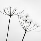 Cow-Parsley lines by PigleT