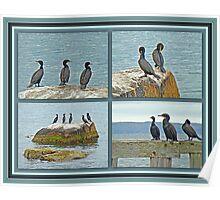 Double-crested Cormorant          Phalacrocorax auritus  Poster