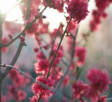 spring blossoms by Jennifer Kutzleb