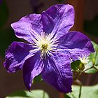 Jackmanii purple Clematis flower by Brian D. Campbell