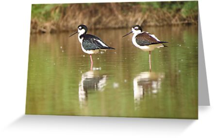 Black-necked Stilts  by Kimberly Chadwick