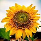 Sunflower Greeting  by IamPhoto