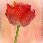 Soft Tulip by Aase