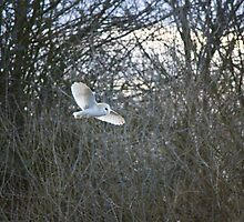 Patrolling barn owl by MisterD