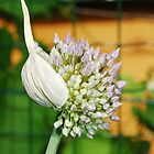 Flowering Allium by jojobob