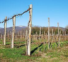 Winter Grape Vines by jojobob