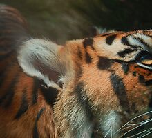 Tiger close up by jaymzah