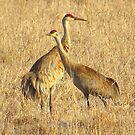 Sandhill Crane Duet by lorilee