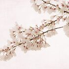 Cherry Blossoms by Melinda Anderson