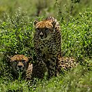 Cheetah Brothers, South Serengeti, Tanzania by Sue Ratcliffe