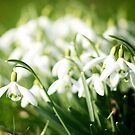Spring at last 2 by ColinKemp