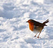 Robin Red, Emberton, Bucks, UK by strangelight
