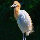 Cattle Egret by Steve Randall