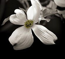 *Dogwood Blossom* by DeeZ (D L Honeycutt)