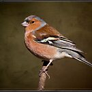 Chaffinch by alan tunnicliffe