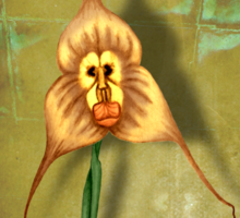 Monkey Face Orchid Sticker