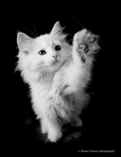 White kitten. by Emma  Turner
