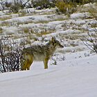 Coyote in Jackson, Wyoming by Tisha Clinkenbeard