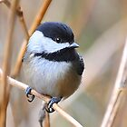 Black-capped Chickadee by Carl Olsen