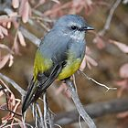 Western Yellow Robin by Ian Berry