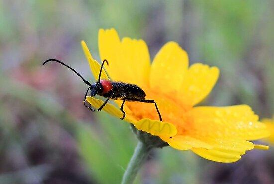 Red-black False Blister Beetle Gathering Pollen by aprilann