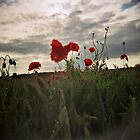 poppy by PAUL FRANCIS