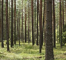pine forests by mrivserg