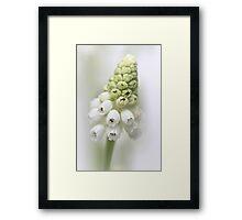White Grape Hyacinth  Framed Print