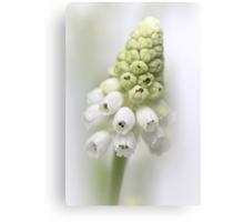White Grape Hyacinth  Canvas Print