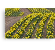 Narcissus in field of Yellow Canvas Print