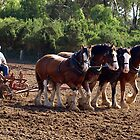 Four Clydesdales working in Sunshine by Bev Pascoe