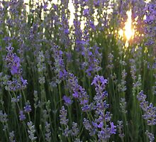 Lavender Close up with Sunlight by kirilart