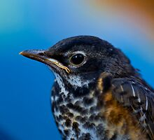 Baby Robin close up by Brian D. Campbell
