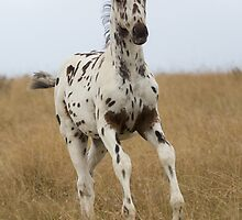 Africa's WAPS Magic (Apaloosa Colt) by Brian Edworthy