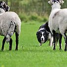 Working Sheepdog by Furtographic