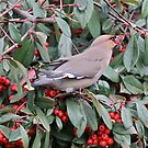 Waxwing by dilouise
