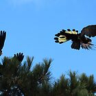 black cockatoo - slowing to land on a branch by gaylene