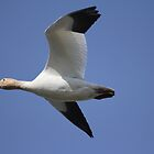 Wild Goose Flying... by RichImage