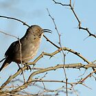 Curve-billed Thrasher Morning Song by Heather Pickard
